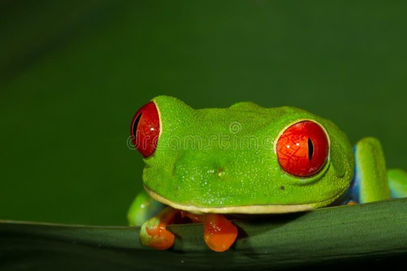 Red-eyed Treefrog lizenzfreies stockbild