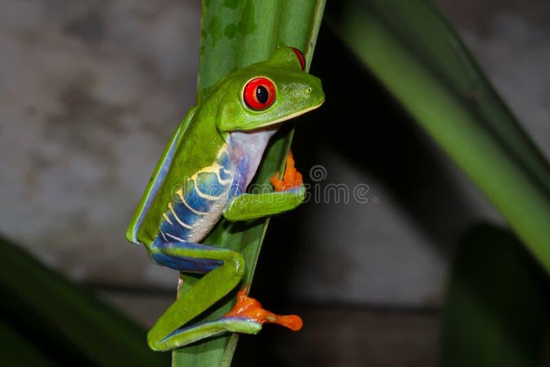 Red-eyed Treefrog lizenzfreie stockbilder