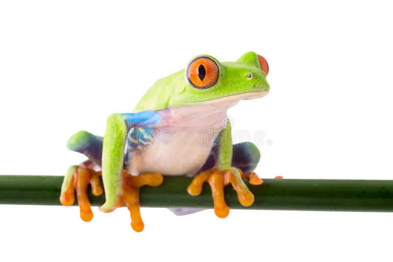 Red eyed treefrog. Agalychnis callidrias a beautiful tree frog from the tropical rain forest in Costa Rica isolated on white royalty free stock photo