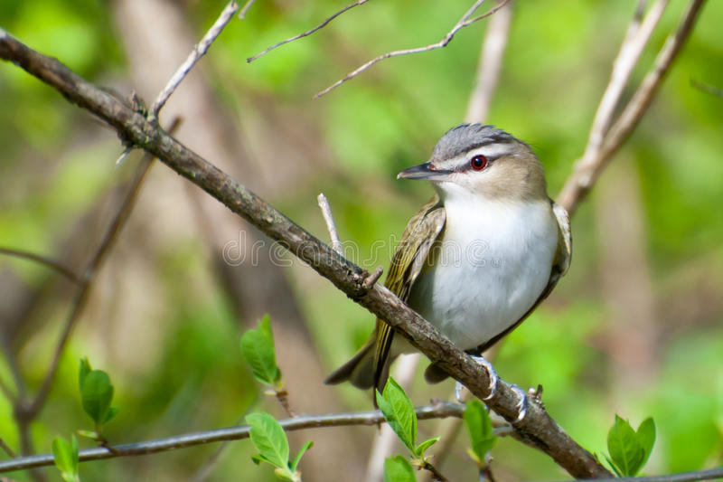 Red-eyed Vireo lizenzfreies stockfoto