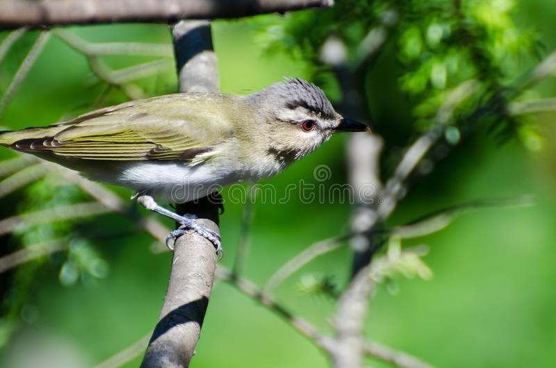 Red-Eyed Vireo Perched in a Tree. Red-Eyed Vireo Perched on a Branch in a Tree stock photography