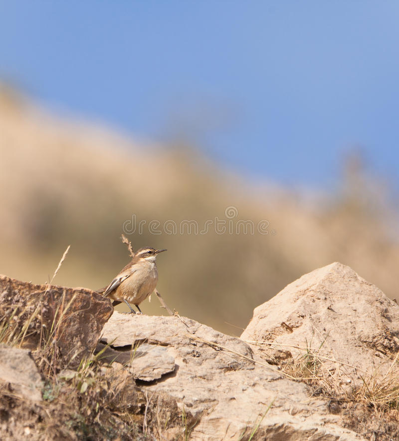 A Red-Eyed Vireo on the rocks royalty free stock photo
