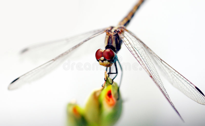 Download Red Eyes stock photo. Image of common, garden, close, anisoptera - 60504