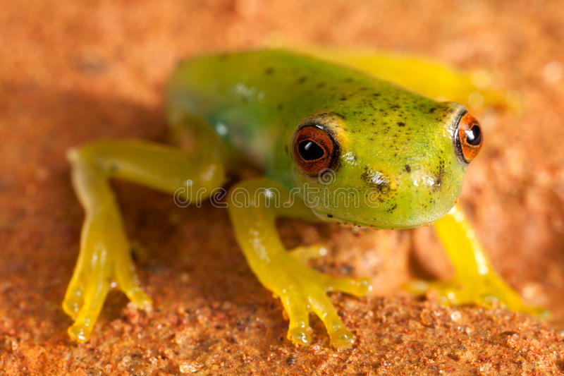 Red eyes green frog. On brown ground royalty free stock photo