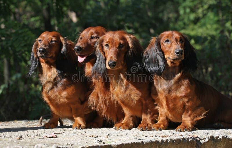 red för dachshun fyra royaltyfri fotografi