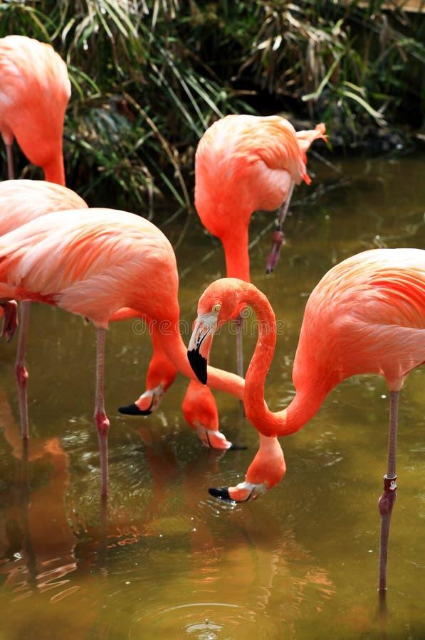 red för flamingoflorida park arkivfoton