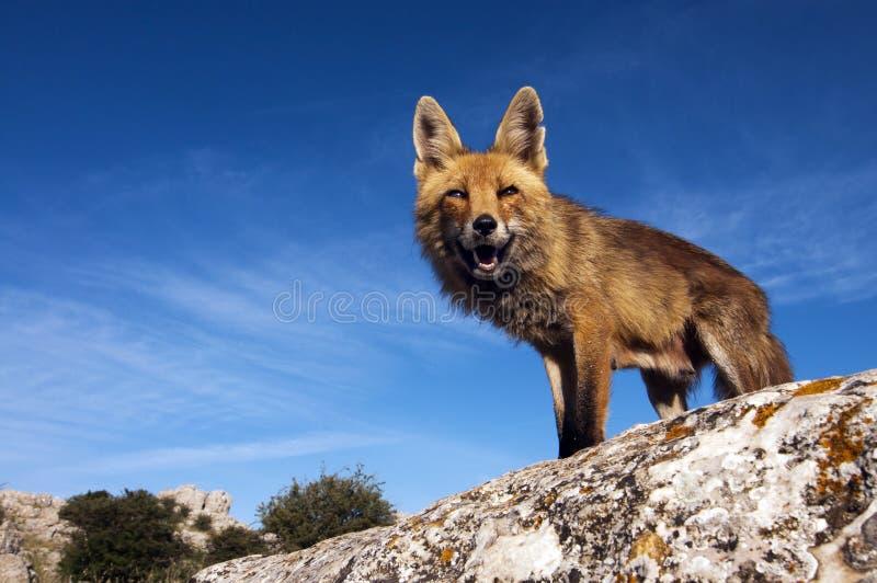 red för räv ii royaltyfri bild