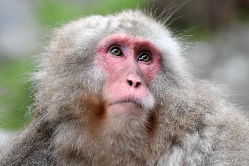 Red face japanese macaque or snow monkey. Portrait of a japanese snow monkey or japanese macaque, macaca fuscata observing his surrounding stock photo