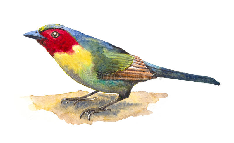 Download Red-faced Liocichla stock illustration. Image of crimson - 28599314