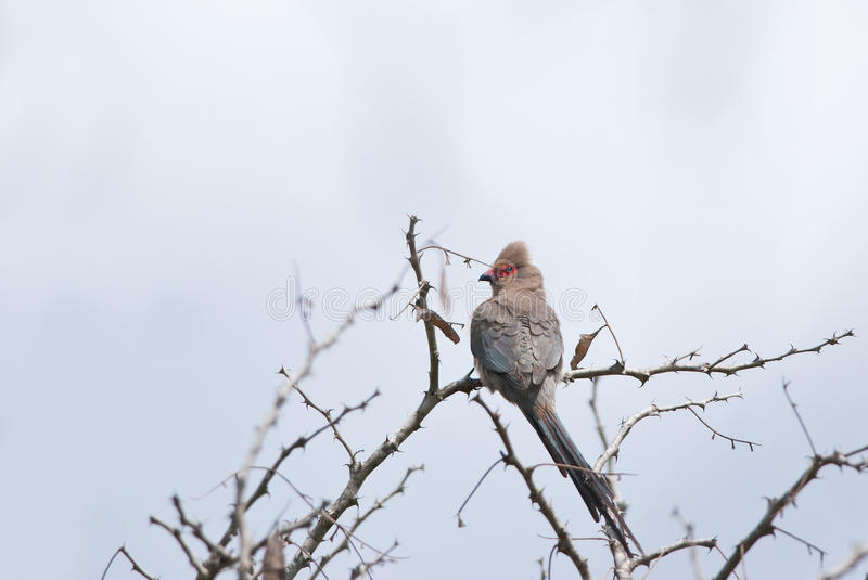Red-faced Mousebird. On a branch in African savannah stock photography
