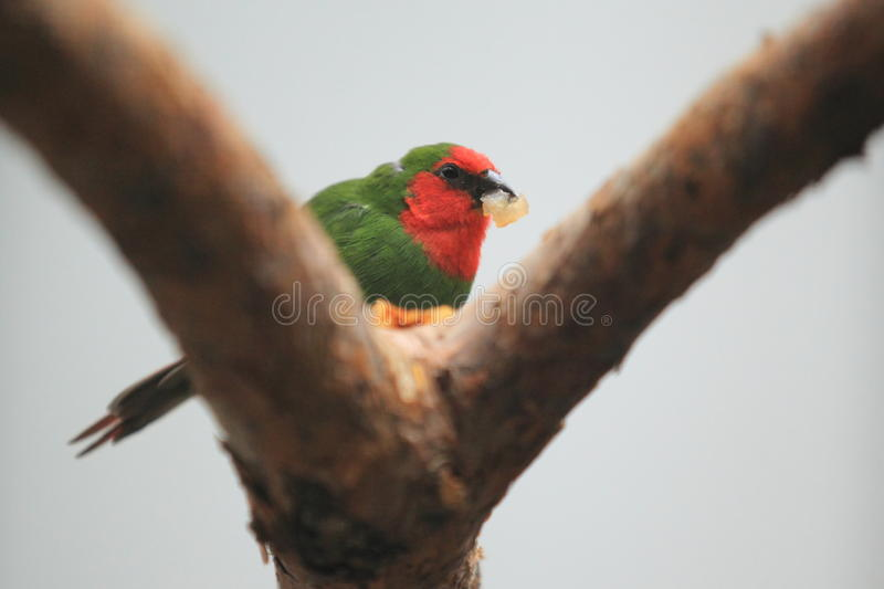 Red-faced parrot finch. The red-faced parrot finch on the tree stock image