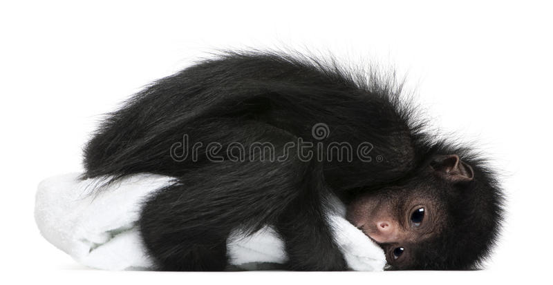 Red-faced Spider Monkey, Ateles paniscus royalty free stock photo