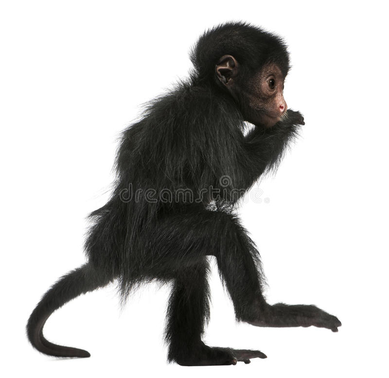 Download Red-faced Spider Monkey, Ateles Paniscus Royalty Free Stock Images - Image: 16713839
