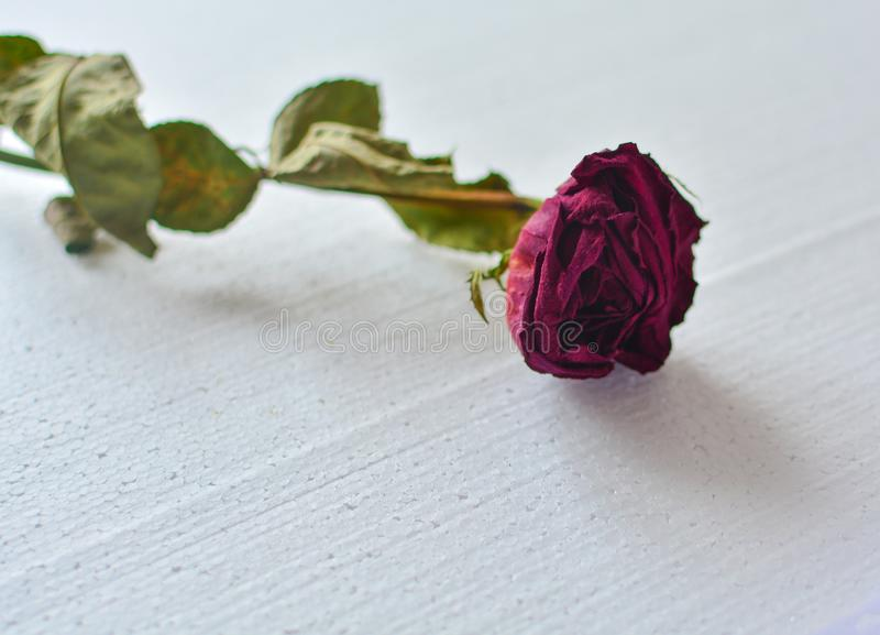 Red fading rose on a white background. close-up. Concept: old age, finale, withering. End of life cycle stock image