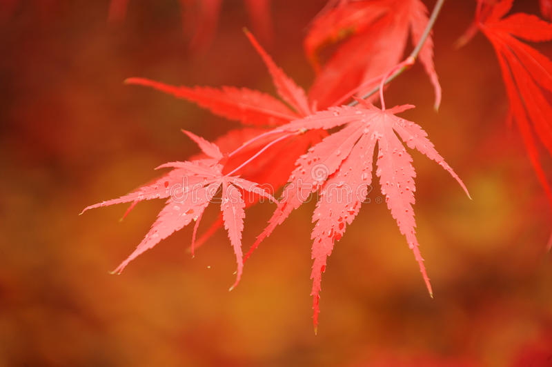 Red in the fall royalty free stock image
