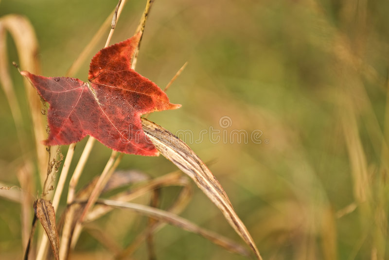 Red fall leaf. One colorful fall leaf is sitting on the top of tall grass stock photography