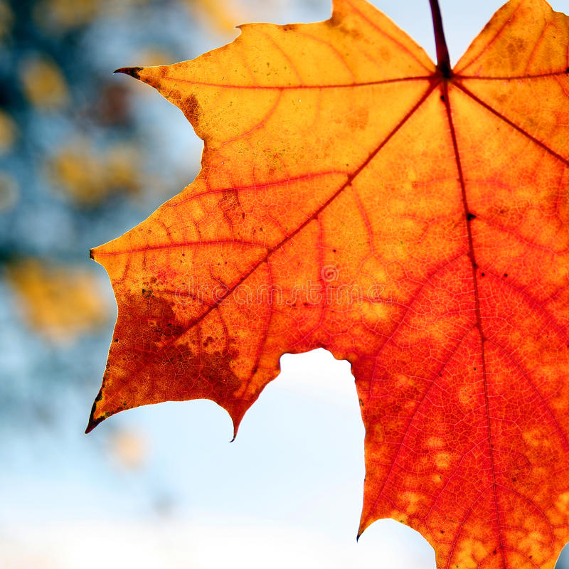 Red fall leave stock photo
