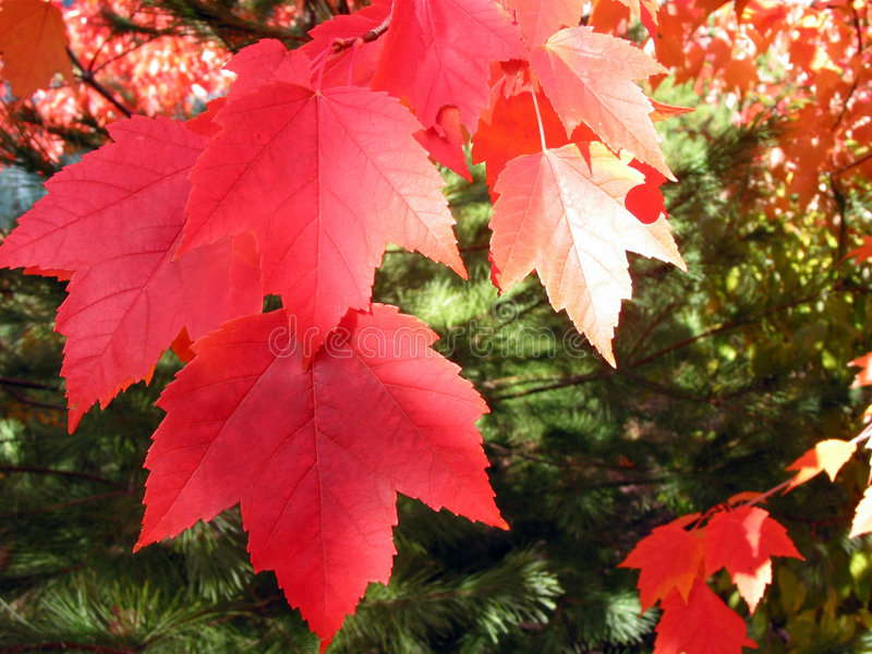 Red fall leaves stock photography