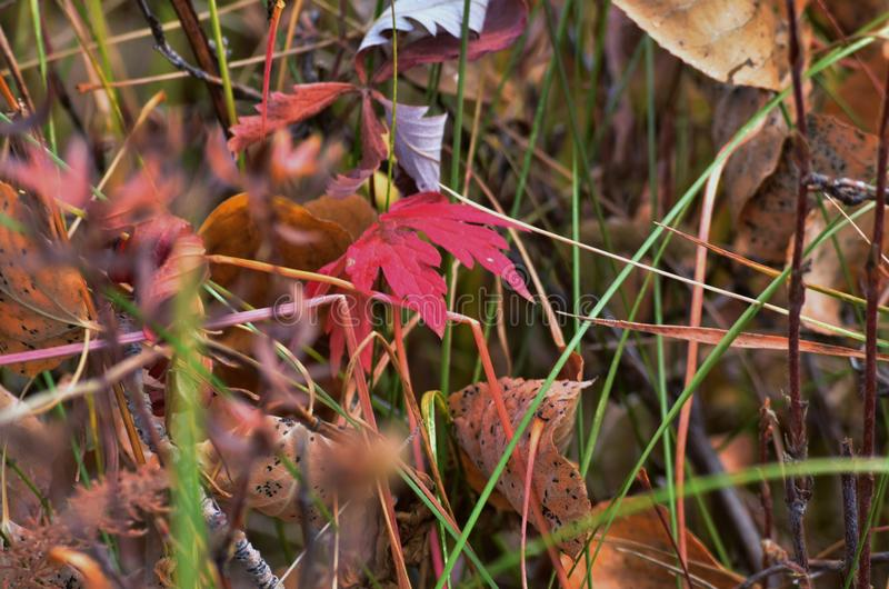 Red Fall leaves in Grass stock photos