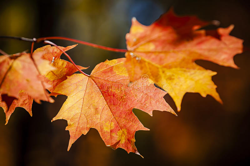 Red fall maple leaves stock image