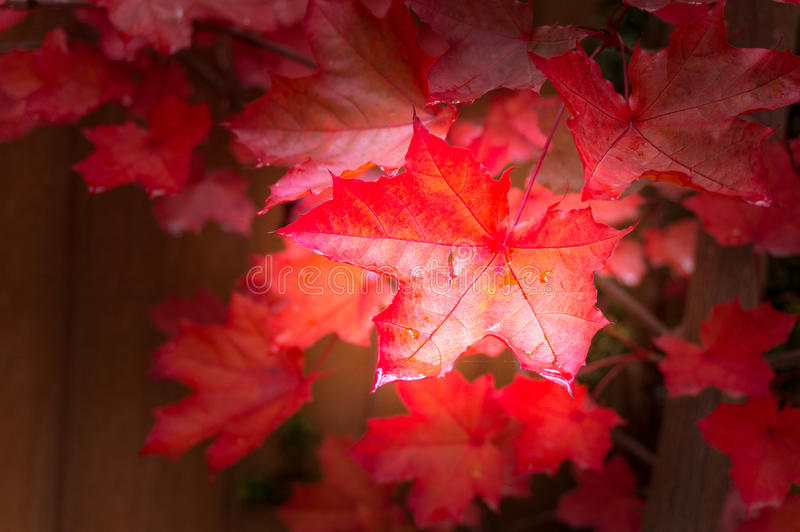 Red fall maple tree leaves background stock image