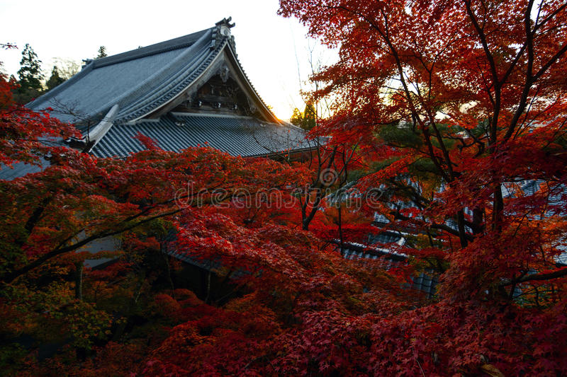 Red fall maple trees in front of an ancient temple during autumn in Kyoto, Japan. Vibrant fall colored maple trees glow red in the evening sun at an ancient royalty free stock images