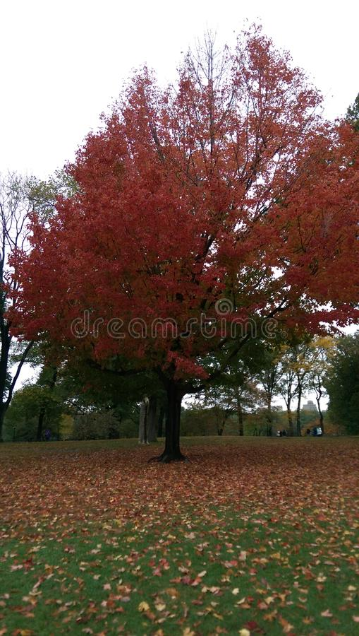 Red fall royalty free stock photos