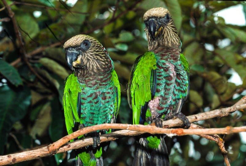Download Red Fan Parrot stock photo. Image of venezuela, rainforest - 60558290
