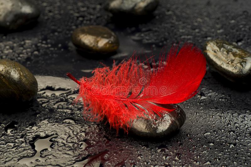 Red feather on stones relating to drops of water royalty free stock photo