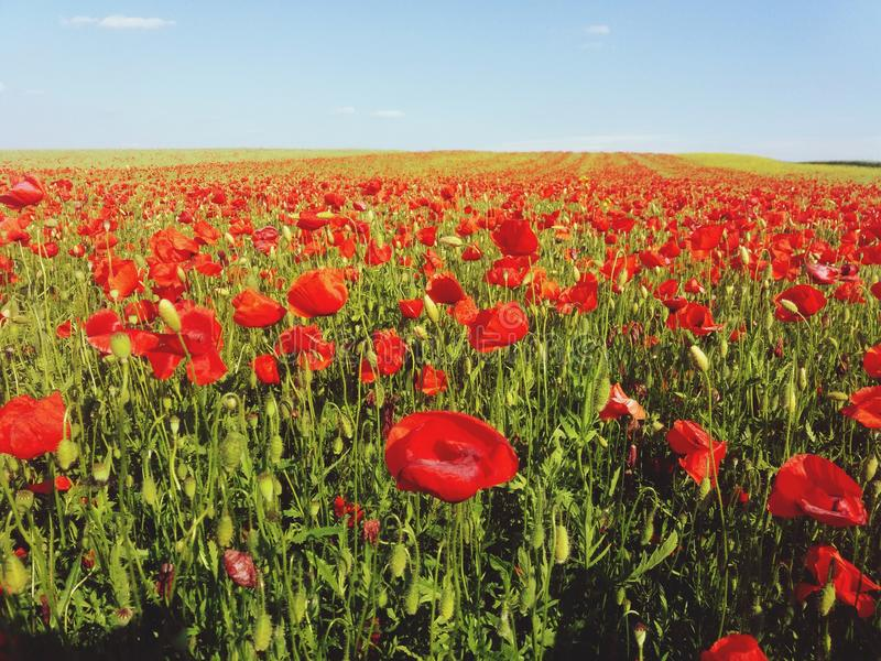 Red field stock image