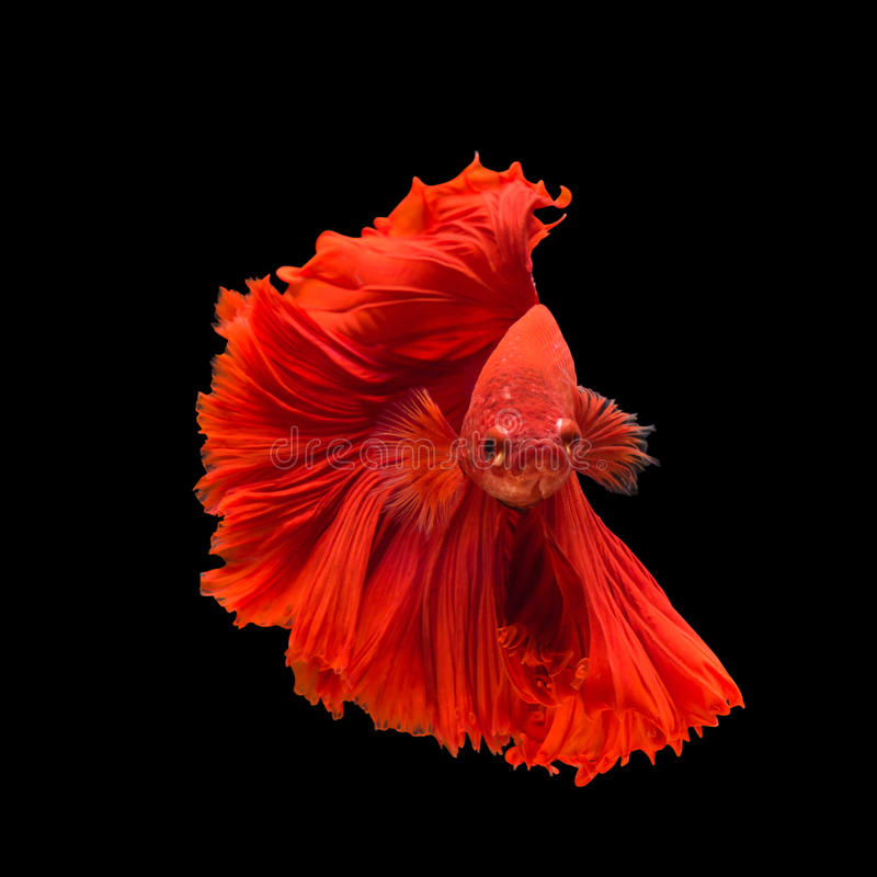 Red Fighting fish on balck background. Pose of Red fighting fish, Red Fighting fish on balck background stock photo