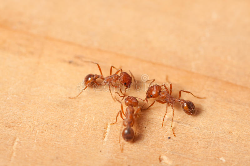 Red fire ants royalty free stock image