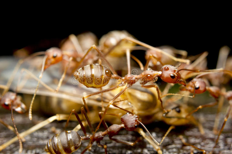 Red fire ants royalty free stock photos