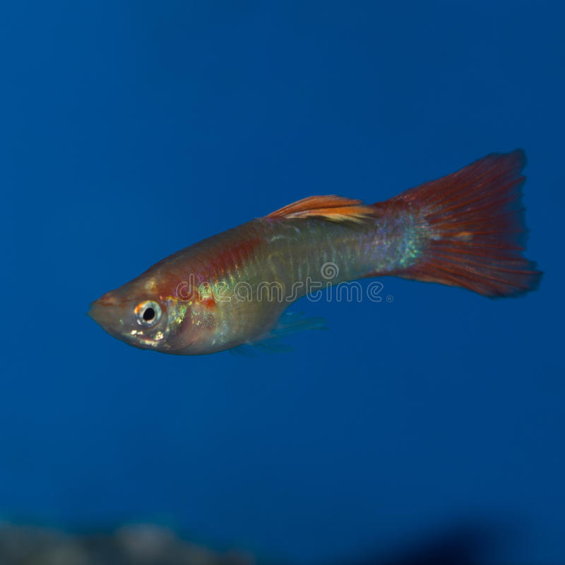 Male Fancy Guppy. The Red Fire Guppy has a prominent, intense red coloration. This fiery red guppy is one of the preferred color varieties among beginning stock image
