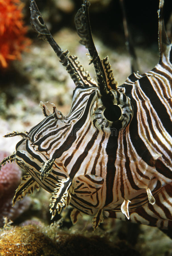 Download Red Firefish Close-up Of Head Stock Image - Image: 30848589