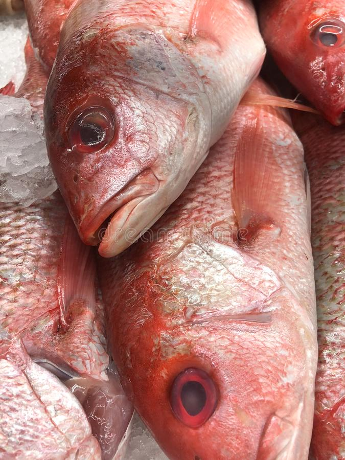 Fresh Silk Snapper on ice at a local market. Red fish ready for purchase at the market royalty free stock photos