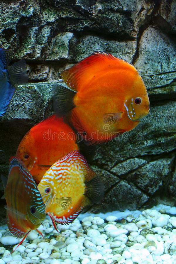 Red fishes in aquarium. Four flat, round, red fishes in aquarium royalty free stock images