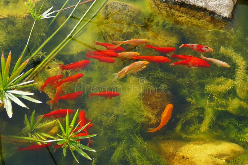 Red fishes in the pond. Closeup water colorful aquarium japanese coy asian gold garden underwater background relaxation animal tropical koi lake nature bright royalty free stock image