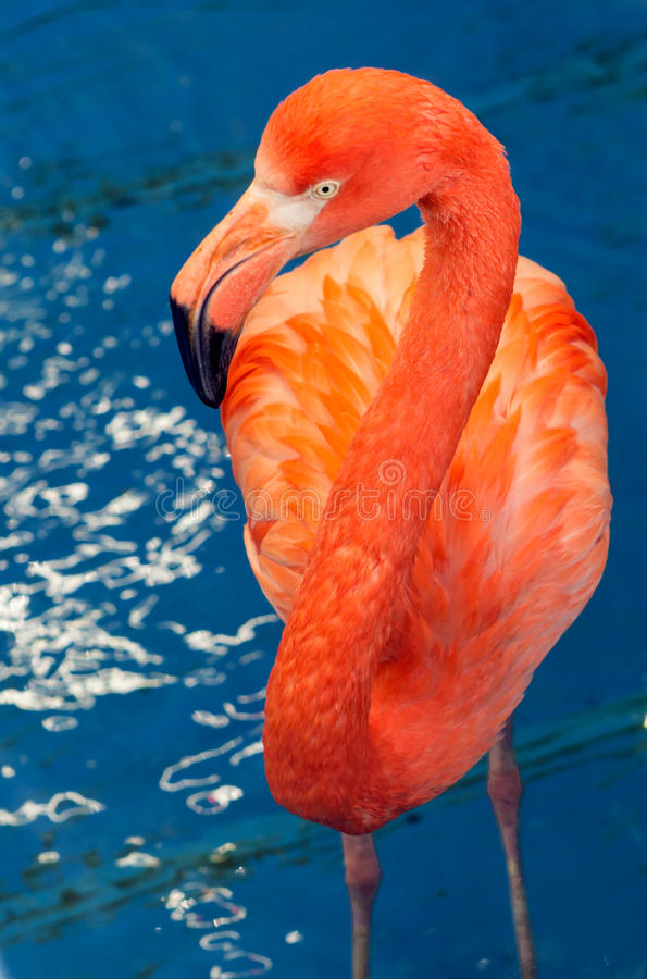 Red Flamingo. Amazingly beautiful plumage and Regal posture rightly puts flamingos in the ranks of the first beauties among the birds. The birthplace of the red stock photos