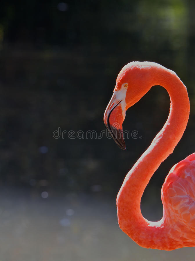 Free Red Flamingo Head Neck Stock Image - 15751281