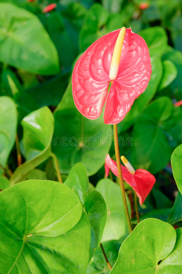 Red Flamingo lily flower (Boy Flower) royalty free stock photo