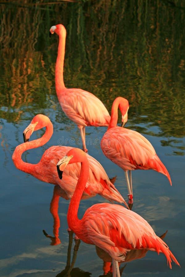 Red flamingo in a park stock photos