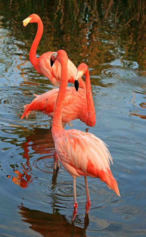 Download Red flamingo in a park stock image. Image of creature - 3621789