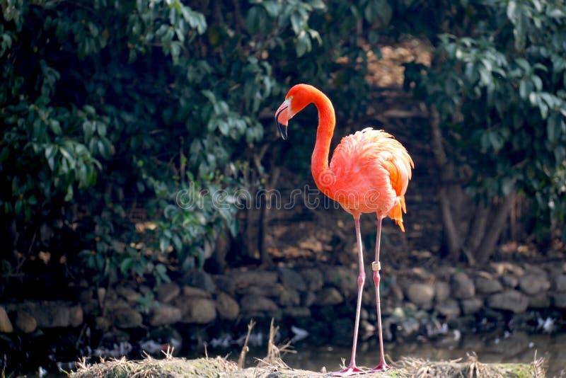 Red flamingo stock image