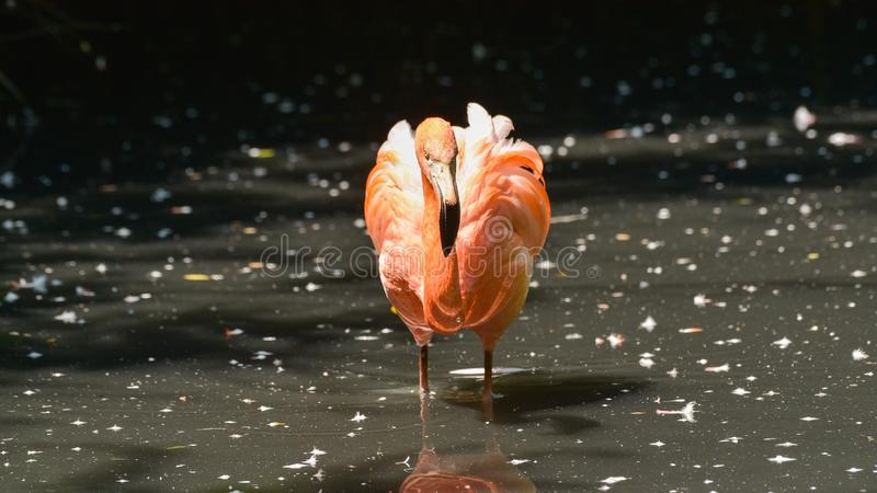 Red flamingo, very close, looking right in front of him. In the water of the pond royalty free stock photo