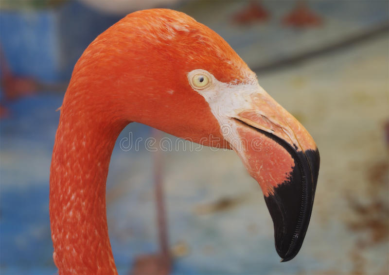 Red flamingos. Profile. Amazingly beautiful plumage and Regal posture rightly puts flamingos in the ranks of the first beauties among the birds. The birthplace royalty free stock photography