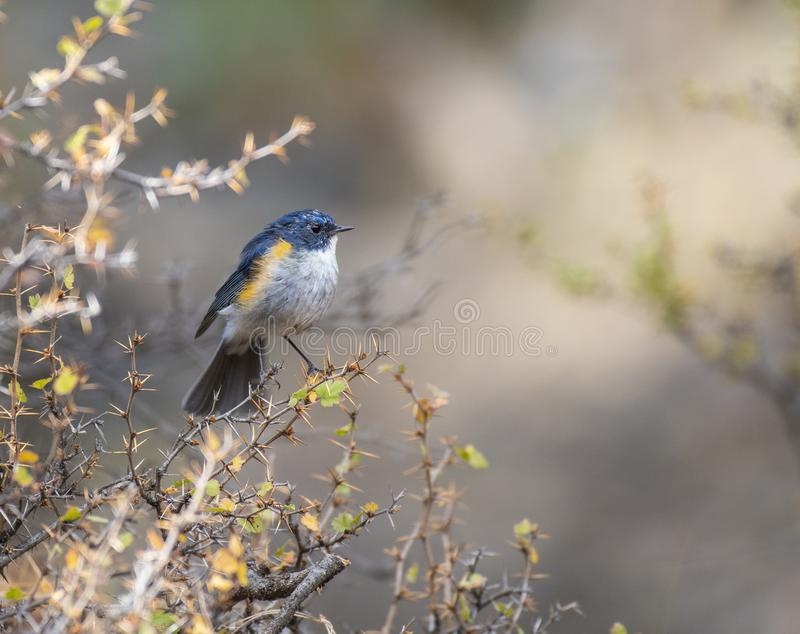 Red flanked bluetail stock photography