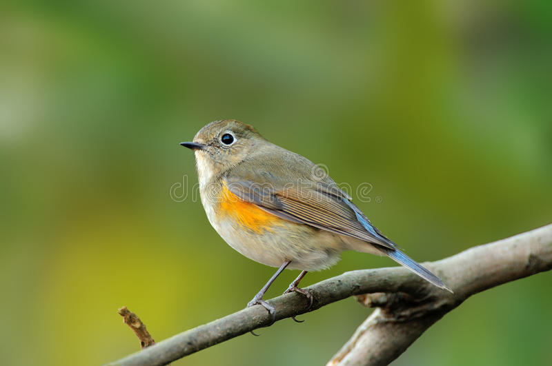 Red-flanked bluetail stock photo