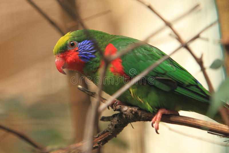 Red-flanked lorikeet stock image