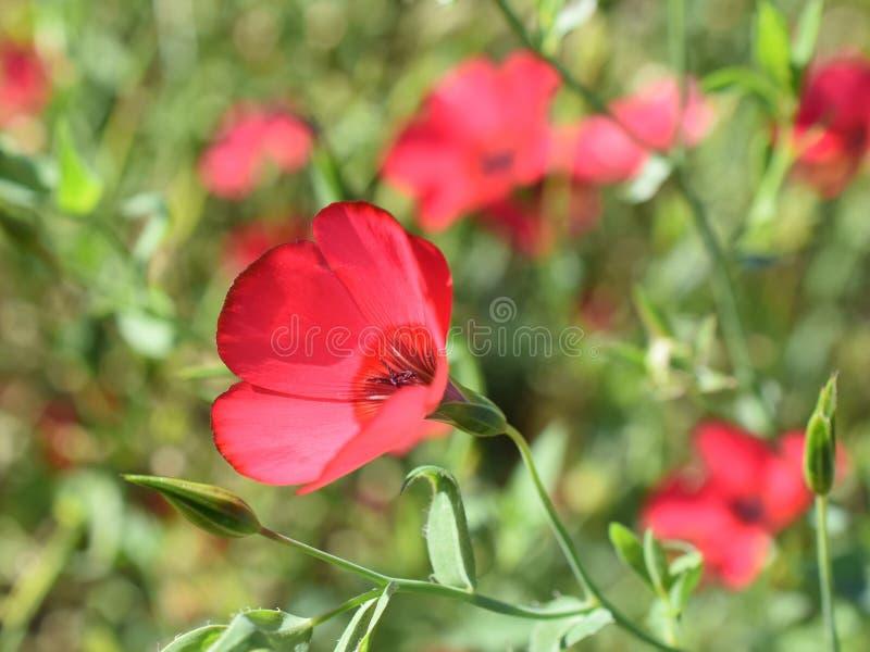 Red flax flowers Linum grandiflorum stock photo